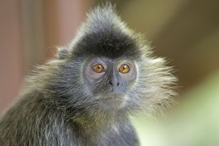 sandakan: A silver leaf monkey in the mangrove, Kota Kinabalu Stock Photo