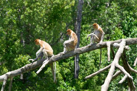 sandakan: Proboscis monkeys in the mangrove, Kota Kinabalu Stock Photo