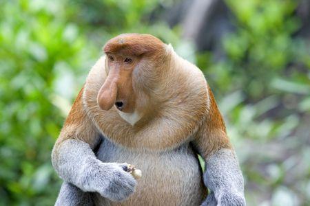 mangrove: A rare proboscis monkey in the mangrove, Kota Kinabalu