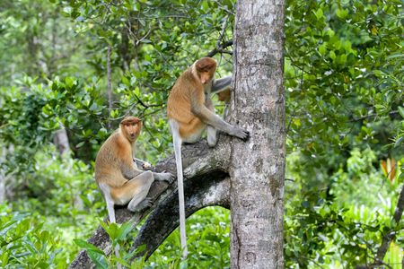 Proboscis monkeys in the mangrove, Kota Kinabalu Stock Photo