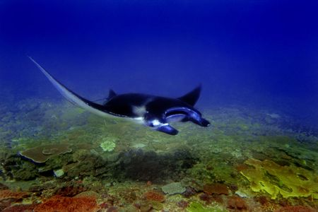 rayon bleu: Ray Manta � Manta divesite Point, Bali, Indon�sie