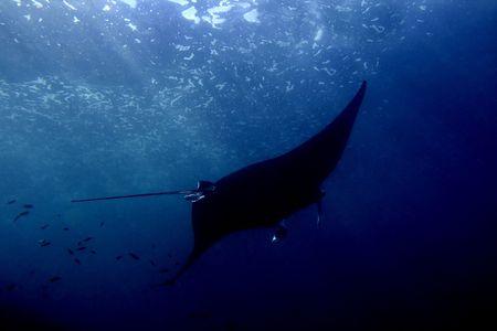 Manta ray at Manta Point divesite, Bali, Indonesia photo
