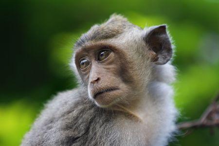 sandakan: A macaque monkey in Bali, Indonesia