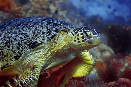 A green turtle at Sipadan, Borneo, Malaysia