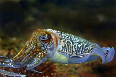 Cuttlefish at Palong divesite, Phi Phi, Thailand