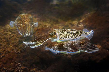 cuttlefish: Cuttlefish at Palong divesite, Phi Phi, Thailand