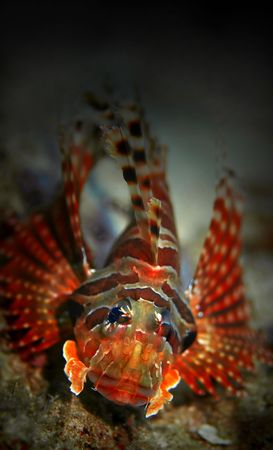 common lionfish: Common Lionfish at Palong divesite, Phi Phi, Thailand