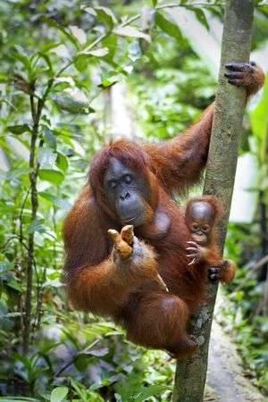 Mother orangutan and her baby photographed in the jungle in Sabah, Borneo, Malaysia Stock Photo