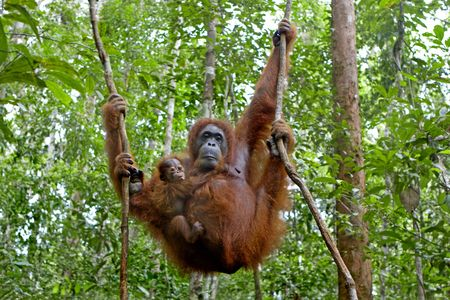 simian: Mother orangutan and her baby photographed in the jungle in Sabah, Borneo, Malaysia Stock Photo
