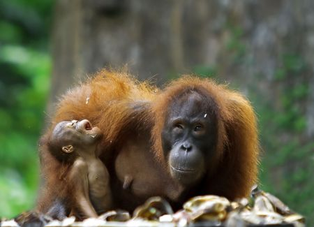 sandakan: Mother orangutan and her baby photographed in the jungle in Sabah, Borneo, Malaysia Stock Photo