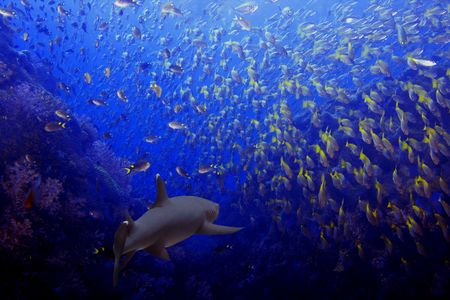 Whitetip reef shark among a school of fish Stock Photo