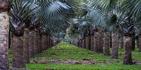 Oil Palm tree plantation in Florida photo