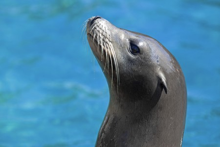 californian: Portrait of a Californian Sea lion in the water Stock Photo