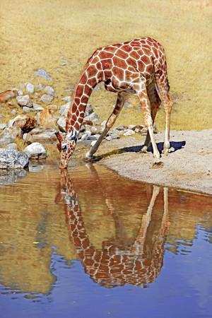 giraffa camelopardalis: A giraffe drinking water at a waterhole