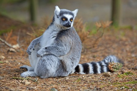 A ring-tailed lemur relaxing in the forrest Stock Photo - 7540596