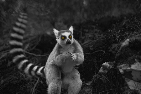 A ring-tailed lemur in the wild at night time Stock Photo - 7583707