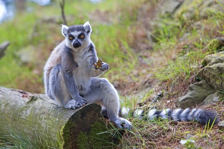 A ring-tailed lemur relaxing in the forrest Stock Photo - 7583724