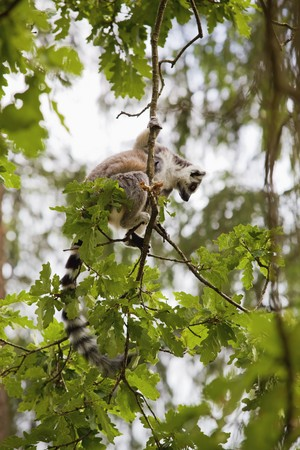 A ring-tailed lemur playing in the trees Stock Photo - 7583718