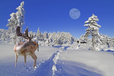 A reindeer is waiting for Santa at the North Pole photo