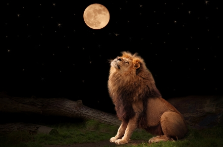 A lion looking at the moon Stock Photo