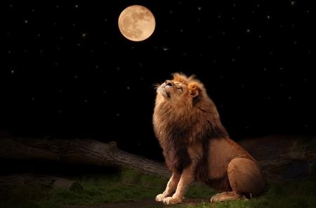leones: Un Le�n mirando la Luna  Foto de archivo