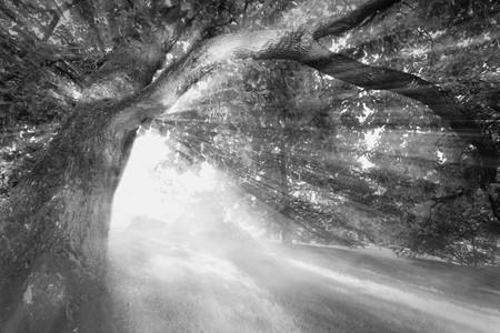 shining through: Bianco e nero foto dei raggi solari che splende attraverso la foresta