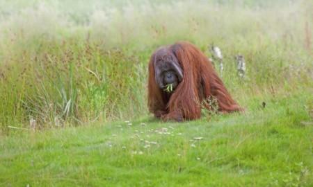 sandakan: Orangutan photographed in Sabah, Borneo, Malaysia