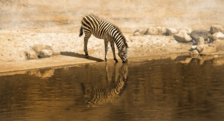 A panorama picture of a Zebra drinking water from a waterhole