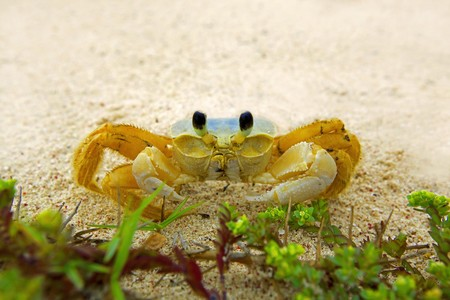 aruba: A ghost crab shot with a wideangel at a beach on Aruba
