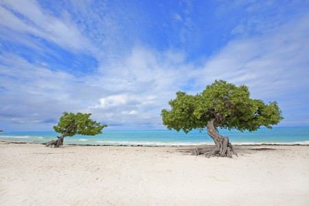 Divi divi tree on Eagle beach, Aruba  photo