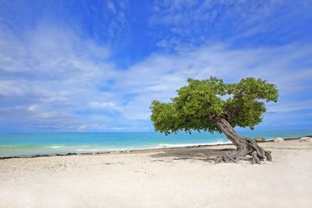 Divi divi tree on Eagle beach, Aruba