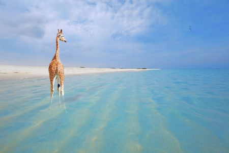 aruba: Giraffe on vacation, peeing in the water at Boca Grandi beach, Aruba