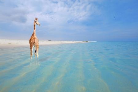 peeing: Giraffe on vacation, peeing in the water at Boca Grandi beach, Aruba