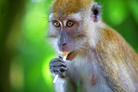 sandakan: Portrait of a Macaque monkey eating a lollipop.