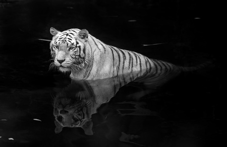 fierce: Black and white picture of a white tiger standing in water Stock Photo