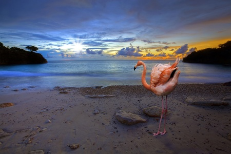 Flamingo at Jeremi beach on Curacao, Caribbean