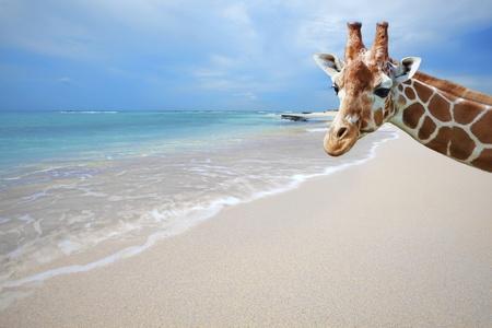jirafa: Jirafa de vacaciones, teniendo un autorretrato en la playa de Boca Grandi, Aruba