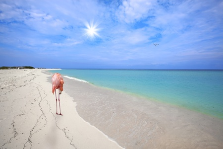 Flamingo in the white sand at Boca Grandi beach, Aruba photo