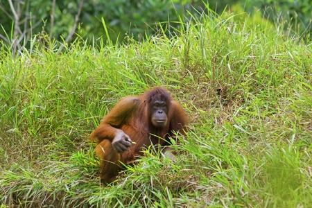 hominid: Orangutan