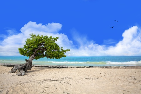 Divi tree on Eagle beach, Aruba , Caribbean Stock Photo