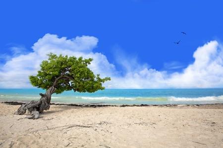 Divi tree on Eagle beach, Aruba , Caribbean Stock Photo