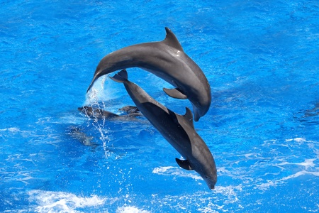 Two dolphins jumping in the Caribbean sea photo