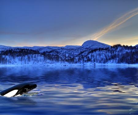 baleine bleue: Killer Whale regarder hors de l'eau Banque d'images
