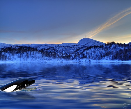 ballena azul: Orca en busca del agua