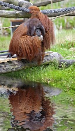 peeing: Orangutan sitting on a bridge, peeing in the water Stock Photo