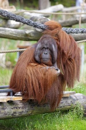 Orangutan sitting on a bridge in a rehabilitation centre photo
