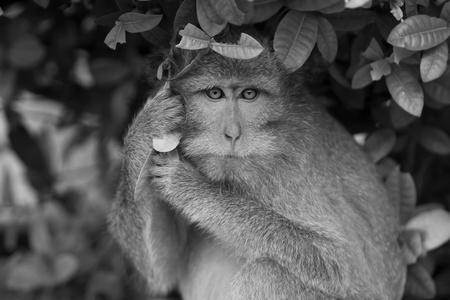 sumatra: Macaque monkey Stock Photo