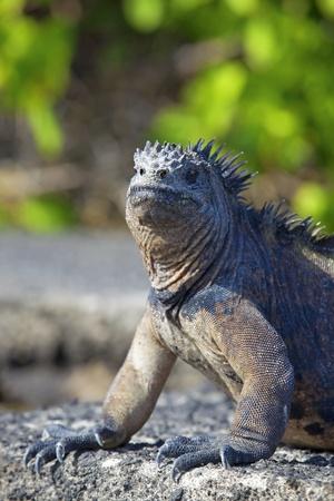 Portrait of a Marine Iguana on Galapagos photo