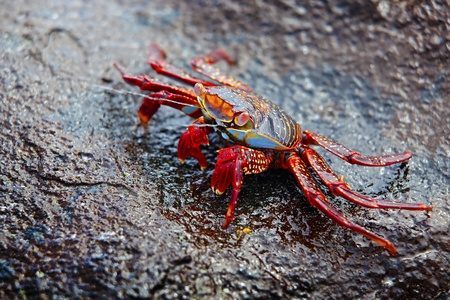 A Sally lightfoot crab expelling salt water from his exoskeleton photo