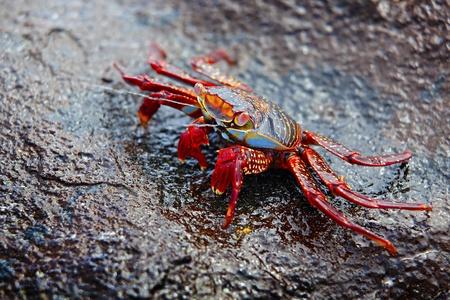 exoskeleton: A Sally lightfoot crab expelling salt water from his exoskeleton